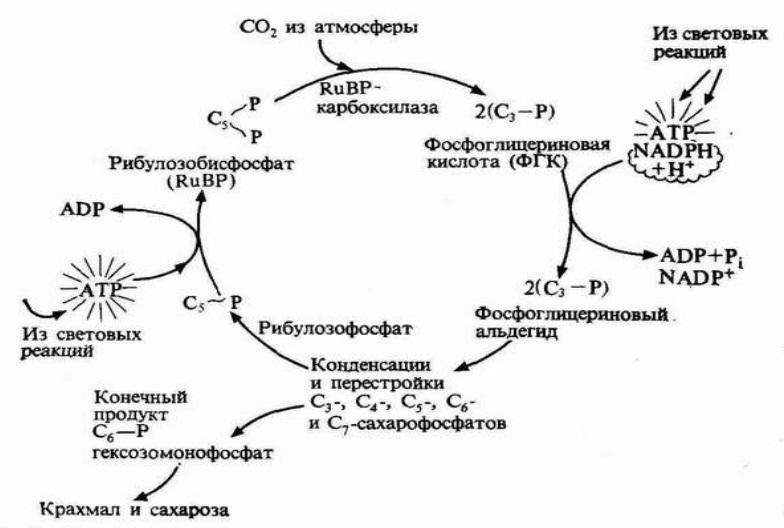 Постройте последовательность реакций фотосинтеза